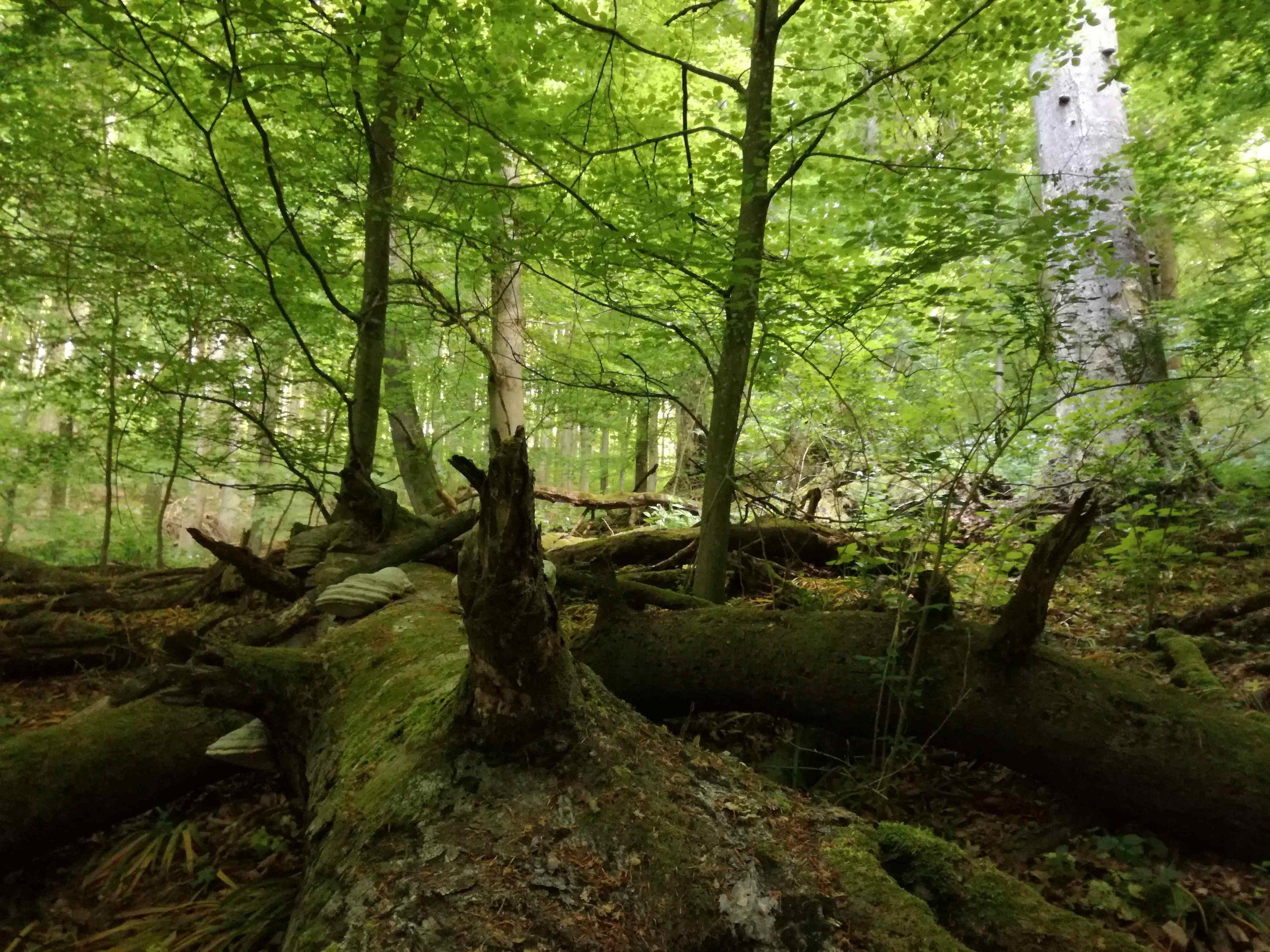 Naturnahe Wälder wie der Urwald Dobra sind Hotspots der Biodiversität. Fotocredit: Irmgard Greilhuber